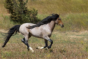 Mustangs / Wild horses, stallion running, Return to Freedom Sanctuary, Lompoc, California, USA  -  Carol Walker