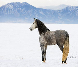 RF- Purebred Grey Andalusian mare looking out over snow, Longmont, Colorado, USA. (This image may be licensed either as rights managed or royalty free.)  -  Carol Walker