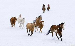 Cowgirl and cowboy herding horses in the snow, Flitner Ranch, Shell, Wyoming, USA Model released - Carol Walker