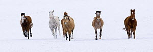 Horses running in the snow, Flitner Ranch, Shell, Wyoming, USA  -  Carol Walker