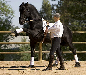 Purebred black Friesian stallion being trained to perform the 'spanish walk', Castle Rock, Colorado, USA  Model released  -  Carol Walker