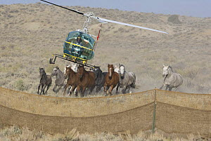 Helicopter used to round up Wild Horses / Mustangs in Sand Wash Herd Area, near Maybell, Colorado, USA  -  Carol Walker