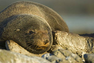 New Zealand fur seal (Arctocephalus forsteri) sleeping, Kaikoura, South Island, New Zealand, March  -  Andrew Walmsley