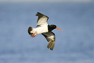South Island pied oystercatcher (Haematopus finschi) in flight, Christchurch, South Island, New Zealand, January  -  Andrew Walmsley