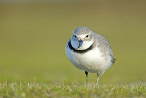 Wrybill (Anarhynchus frontalis) portrait, Lake Ellesmere, South Island, New Zealand, October - Andrew Walmsley