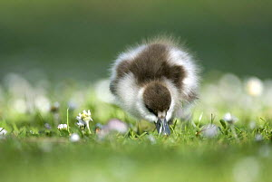 Paradise shelduck chick (Tadorna variegata)  foraging, Christchurch, South Island, New Zealand, October  -  Andrew Walmsley