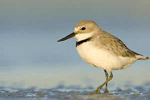 Wrybill (Anarhynchus frontalis) portrait in shallow water, Lake Ellesmere, South Island, New Zealand, October - Andrew Walmsley