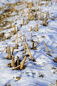 Asparagus (Asparagus officinalis) beds in winter, snow covered with last years growth cut back, Norfolk, UK, February  -  Gary K. Smith