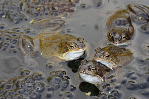 Common frogs (Rana temporaria), spawning congregation in garden pond in spring, UK, March. - Gary K. Smith