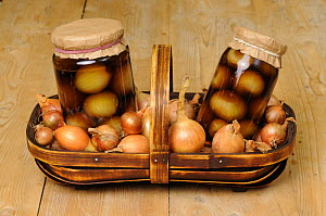 Two jars of home made pickled onions, surounded by pickling onions (Allium cepa) in trug on rustic kitchen table, UK September  -  Gary K. Smith