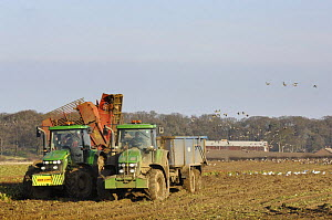 Sugar beet (Beta vulgaris) being harvested, with Pink footed geese (Anser brachyrhynchus) feeding in the distance, Norfolk, Uk, February.  -  Gary K. Smith