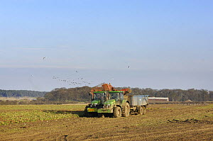 Sugar beet (Beta vulgaris) being harvested, with Pink footed geese (Anser fabalis brachyrhynchus) feeding in the distance, Norfolk, Uk, February.  -  Gary K. Smith