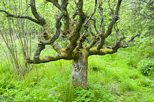 Old gnarled tree, Bellsquarry Wood, Livingstone, West Lothian, Scotland, May - Niall Benvie