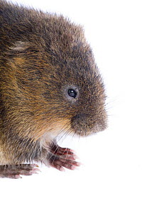 Male Water vole (Arvicola terrestris) portrait, Kent, England, May Captive  -  Niall Benvie