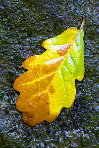 English / Pedunculate oak (Quercus robur) leaf on wet rocks, Aberfoyle, Stirlingshire, Scotland, September - Niall Benvie