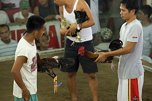 Men with roosters about to begin a cockfight, Philippines. 2008  -  Jurgen Freund