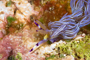 Nudibranch / Serpent Pteraeolidia (Pteraeolidia ianthina) that stings when touched.  Indo-pacific  -  Juergen Freund