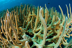 RF- Staghorn corals (Acropora cervicornis). Indo-pacific. (This image may be licensed either as rights managed or royalty free.)  -  Juergen Freund