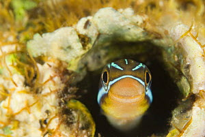 Blue striped blenny (Plagiotremus rhinorhynchus) hiding on coral reef in worm hole,  Indo-pacific - Jurgen Freund