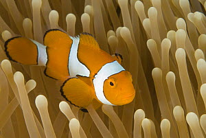 Clown anemonefish (Amphiprion percula) amongst anemone tentacles, Indo-pacific  -  Jurgen Freund