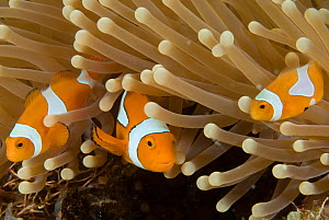 RF- Clown anemonefish (Amphiprion percula) amongst anemone tentacles, Indo-pacific. (This image may be licensed either as rights managed or royalty free.)  -  Jurgen Freund