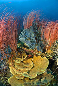 Red whip corals / sea whips (Ellisella sp) and various sponges on coral reef, Indo-pacific - Jurgen Freund