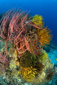 Whip corals / Sea whips (Ellisella sp) and featherstars (Crinoidea), on coral reef, Indo-pacific - Jurgen Freund