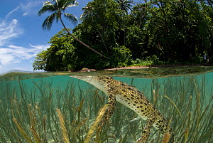 RF- Saltwater crocodile (Crocodylus porosus) swimming at water surface, split-level, amongst eelgrass, New Guinea, Indo-pacific. (This image may be licensed either as rights managed or royalty free.)  -  Jurgen Freund