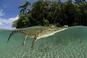Saltwater crocodile (Crocodylus porosus) swimming at water surface, split-level, New Guinea, Indo-pacific - Jurgen Freund