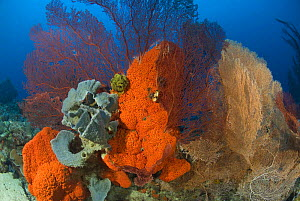 Orange elephant ear sponge (Agelas clathrodes), with other sponges and gorgonians, Indo-pacific  -  Jurgen Freund