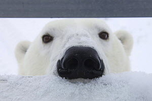 Polar bear {Ursus maritimus} sniffing at occupants of filming vehicle, Churchill, Manitoba, Canada. Filming BBC's 'Nature's Great Events' 2007  -  Warwick Sloss