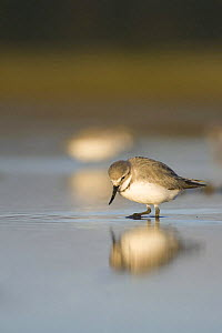 Wrybill (Anarhynchus frontalis) Adult feeding with reflection, Lake Ellesmere, Canterbury, New Zealand. August - Tom Marshall