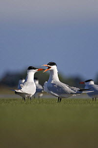 Caspian tern (Hydroprogne caspia) adult calling. Lake Ellesmere. Canterbury. New Zealand, October  -  Tom Marshall