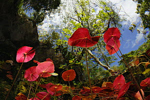 View from inside a cenote, looking up through lily pads. Riviera Maya, Yucatan Peninsula, Mexico. NOT FOR SALE IN THE USA - Brandon Cole