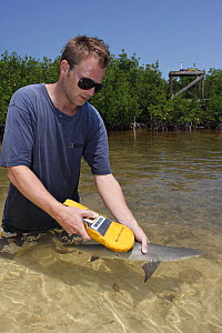 Marine biologist Tristan Guttridge from Bimini Biological Field Station uses PIT tag reader to scan juvenile Lemon shark (Negaprion brevirostris) captured in mangroves (Rhizophora mangle). Bahamas, At... - Brandon Cole