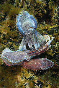 Giant Australian cuttlefish (Sepia apama). Male in center is blocking another male (top) from gaining mating access to female (bottom). South Australia.   NOT FOR SALE IN THE USA  -  Brandon Cole