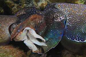 Giant Australian cuttlefish (Sepia apama) mating head to head. Male (on right) grasps female (left) with arms, passes sperm packet. South Australia.   NOT FOR SALE IN THE USA  -  Brandon Cole