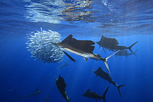Atlantic sailfish (Istiophorus albicans) feeding on sardines. Note some consider this to be the same species as the Indo-Pacific sailfish (I. platypterus). Mexico, Gulf of Mexico. - Brandon Cole
