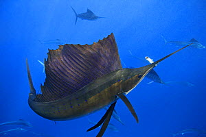 Atlantic sailfish (Istiophorus albicans), feeding, with sardine caught in mouth. Some consider this to be the same species as the Indo-Pacific Sailfish (I. platypterus). Mexico, Gulf of Mexico.  -  Brandon Cole
