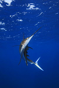 Atlantic sailfish (Istiophorus albicans). Some consider this the same species as the Indo-Pacific Sailfish (I. platypterus). Mexico, Gulf of Mexico.   NOT FOR SALE IN THE USA  -  Brandon Cole