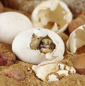 Spur thighed tortoise (Testudo graeca) hatching from its egg, captive, sequence 2/4  -  Jane Burton