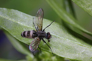 Fly (Diptera) killed by insect pathogenic fungus, Surrey, England - Kim Taylor