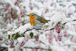Robin (Erithacus rubecula) on Flowering currant (Ribes sanguineum) after a late snowfall in April, UK, digital composite  -  Kim Taylor