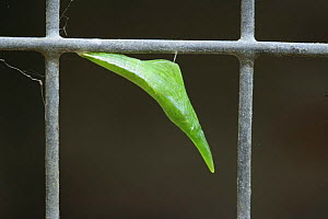 Orange tip butterfly (Anthocharis cardamines) newly formed pupa on wire mesh, Surrey, England, sequence 2/2 - Kim Taylor