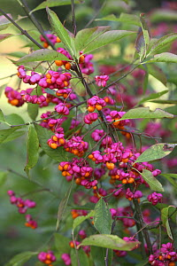 Spindle (Euonymus europaeus) berries in autumn, Surrey, England  -  Kim Taylor