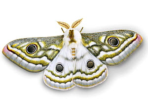 Emperor moth (Gonimbrasia species) digitally enhanced, Namibia  -  Kim Taylor