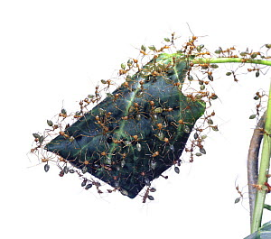 Green tree ant (Oecophylla smaragdina) workers protecting nest inside folded leaf, North Australia  -  Kim Taylor