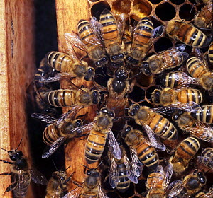 Honey bee (Apis mellifera) queen surrounded by workers as she lays an egg in a cell at the edge of the comb, UK  -  Kim Taylor