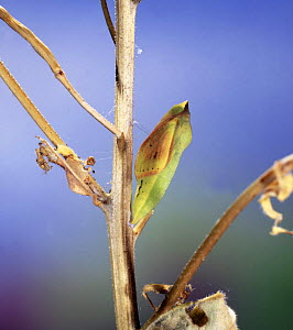 Clouded yellow butterfly (Colias croceus) pupa, Surrey, England  -  Kim Taylor