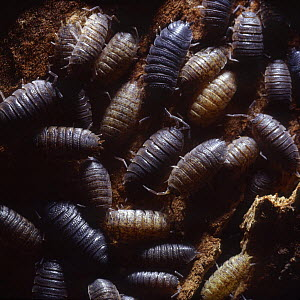 Common rough woodlouse (Porcellio scaber) group sheltering in a crevice under tree bark, Surrey, England  -  Kim Taylor